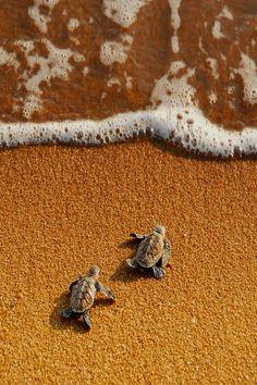 baby turtles rush to the sea