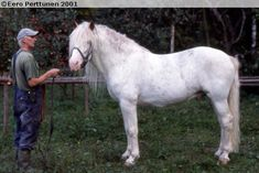 Vekselin Ihme, 1991 near-white Finnhorse stallion from conservatively-marked parents. Neither of his two known foals inherited his pattern.