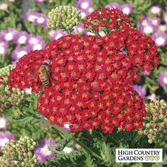 Red Velvet is one of the best with it deep rose-red, flat-topped flower heads that hold their color. Deep green, fine textured foliage, this yarrow is sure to attract butterflies wherever its planted. Long Blooming Perennials, Blooming Plants, Sun Perennials, Flowering Plants, Red Flowers, Red Roses, Fruit Flowers, Butterfly Flowers, Beautiful Flowers