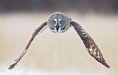 Here we go .. (Great grey owl)