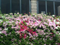 Azaleas in Ghent Girly, Flowers, Plants, Beautiful, Women's, Girly Girl, Plant, Royal Icing Flowers, Flower
