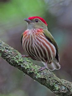 This beautiful bird is called the Striped Manakin. The Striped Manakin is found primarily in Brazil, Colombia, Ecuador, Guyana, Perú, and Venezuela. These birds always have the telltale red strip on the top of its head. ~Me  #birds #birdphotography #wildlife