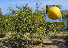 This is a Lemon tree, very useful for Gin and Tonic - and for fish dishes as well. I has fruits all year round. All Year Round, Gin And Tonic, Andalusia, Fish Dishes, Weekender, Countryside, Spanish, Lemon, Dreams