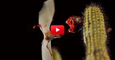 These Endangered Bats Are Beautiful — And This Slo-Mo Footage is Incredible! | The Rainforest Site Blog