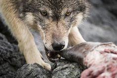"""Conheça estes raros """"lobos marinhos"""" que vivem do oceano e podem nadar por horas"""