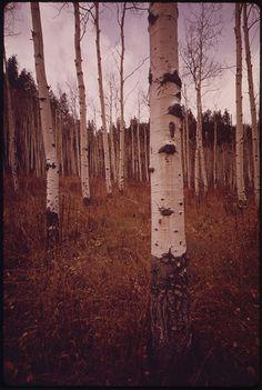 Aspen Trees Along East Rifle Creek, Still Picture, Photo Maps, Aspen Trees, National Archives, Nara, Artsy Fartsy, Colorado, Photo And Video, World