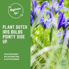 #Fallisforplanting Bulbs! Plant your bulbs now for spring color! Summer Bulbs, Spring Flowering Bulbs, Autumn Garden, Spring Garden, Spring Colors, Spring Flowers, Dutch Iris, Planting Tulips, Victory Garden