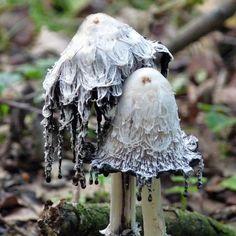 Shaggy Ink Cap Mushrooms (Coprinus comatus)