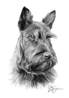 Dog Scottish Terrier pencil drawing print - 2 sizes - artwork signed by artist Gary Tymon - Ltd Ed 50 prints only - pencil portrait Dog Pencil Drawing, Cat Drawing, Pencil Drawings, Scottish Terrier Puppy, Terrier Dogs, Animal Drawings, Dog Drawings, Dog Portraits, Dog Art
