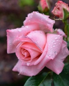Gardening Hacks That Anyone Can Use Beautiful Flowers Pictures, Rose Pictures, Flower Photos, Beautiful Roses, Pretty Flowers, Sugar Flowers, Silk Flowers, Hot Pink Roses, Special Flowers