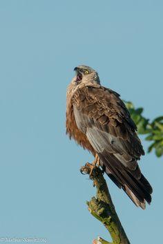 theraptorcage: Marsh Harrier gritando de terror bocejando