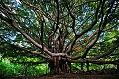 hana, maui...I saw this tree on my senior trip and would love to see it again :)