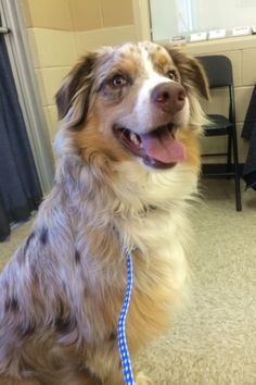 Meet Murry a Petfinder adoptable Australian Shepherd Dog   Haltom City, TX   Handsome! Smart! Young!Meet Murry, he is a sunning young man! He loves to play with his foster...