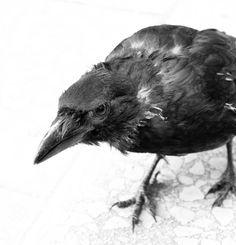 http://fc05.deviantart.net/fs48/i/2009/230/d/3/crow_by_Fiffill.jpg