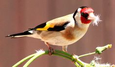 Goldfinch, Carduelis carduelis  /  Seen in England, near Chichester (south coast),