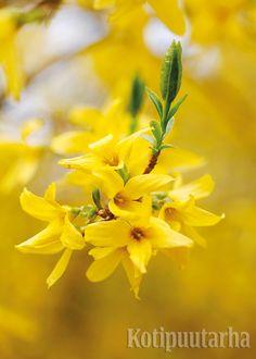 ONNENPENSAAT - KUUKAUDEN KASVI 4/2016. Onnenpensaiden kirkkaan keltaiset kukat avautuvat lehdettömiin versoihin huhti-toukokuun vaihteessa. Onnenpensaan kukkaloistosta voit päästä nauttimaan jo aiemminkin hyötämällä oksia maljakkoon! Lue lisää http://www.kotipuutarha.fi/puutarhavinkit/koristekasvit/onnenpensaat.html