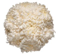 Chrysanthemum, also like the engagement bouquets. Lots of colours, and they are quite large, so less flowers are needed to fill the bunches. Chrysanthemum Bouquet, White Chrysanthemum, Chrysanthemums, Oriental Wedding, Greek Wedding, Wedding Day, White Wedding Flowers, Floral Wedding, Football Mums