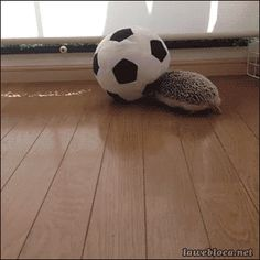 Well, of course it's a hedgehog with a soccer ball