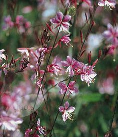 Buy gaura Gaura lindheimeri 'Siskiyou Pink': Delivery by Waitrose Garden in association with Crocus Flowers Perennials, Pink Flowers, Gaura, Plant List, Crocus, Long Flowers, Perennials, Plants, Avenue Garden
