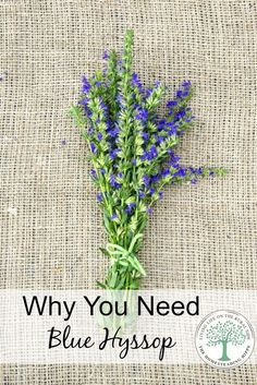 Get to know this distinctive herb with cleansing and respiratory easing properties and why you need this in your herbal medicine chest. The Homesteading Hippy