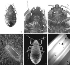 Appearances, characteristics, and stages of the bedbug, Cimex lectularius: (A) adult; (B) back of the adult head and thorax, note the curving pronotum; (C) adult, ventral surface of the head, note the bite unit; (D) egg; (E) nymph; and (F) feces
