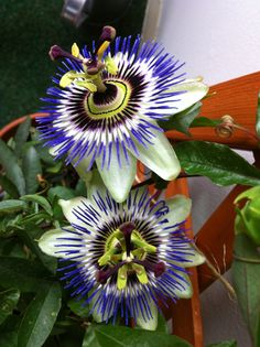 Passiflora on my balcony. I got it from my kids on mother's day in May I Got This, Balcony, How To Get, Day, Plants, Kids, Young Children, Boys, Balconies