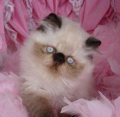 Sweet Himalayan from CatsOfAustralia.com. #persian #kitten