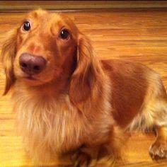 Rufus~The Cutest Daschund Ever!
