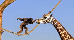 """""""Auf Augenhöhe.."""", Montage von Su aus Affen- und Giraffen-Bild, urheberrechtlich geschützt"""