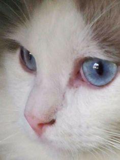 Beautiful eyes. Gabriel, my Ragdoll cat.
