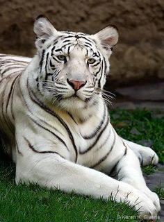 White Tiger <3 - www.savetigersnow.org - tigertime.info/the-crisis - www.savewildtigers.org/ - www.panthera.org/node/1399