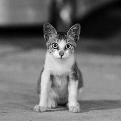 Teeny tiny cat, big ears and eyes like plates. :D