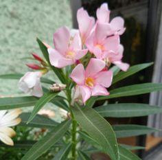 Laurel de flor