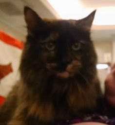 Rescued cat turned therapy animal makes the rounds at local cat show