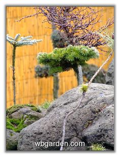 Dwarf conifers - February 2008 - Conifers Forum - GardenWeb