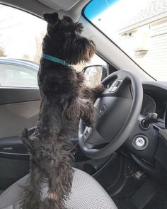 Ranked as one of the most popular dog breeds in the world, the Miniature Schnauzer is a cute little square faced furry coat. Raza Schnauzer, Black Schnauzer, Miniature Schnauzer Puppies, Schnauzer Puppy, Standard Schnauzer, Baby Dogs, Dogs And Puppies, Doggies, Dog Photos