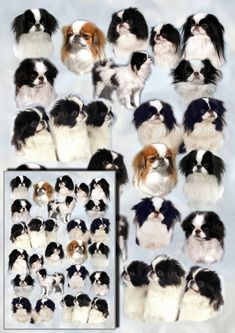 Japanese Akita, Japanese Dogs, Japanese Chin, Akita Puppies, Akita Dog, Dog Christmas Gifts, Yorkshire Terrier Dog, Shih Tzu Dog, Dogs Golden Retriever