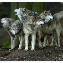 European wolf Family......Photo By Carol Clarke