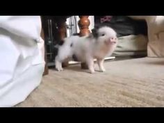 """This Baby Pig Dancing To Rihanna's """"Work"""" Is Everything"""