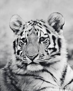 Items similar to Tiger Photography - baby tiger photo, tiger photograph, baby animal picture, tiger Tiger Photography, Wild Animals Photography, Wildlife Photography, Portrait Photography, Tiger Pictures, Baby Animals Pictures, Tiger Fotografie, Grey Kitten, Tiger Art