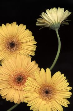 """bobbauerflower: """" ' The Floater '  Bright yellow Gerbera daisies directly scanned on a flatbed scanner by Bob Bauer. I actually made a 30x40 print of this one, retaining the same detail you see in this pic. That is the beauty and glory of directly..."""