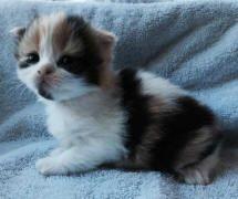 Scottish Fold Kittens For Sale At Celtic Folds Cattery Louisiana
