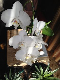 Orchid 2016 Christmas present that keeps on giving