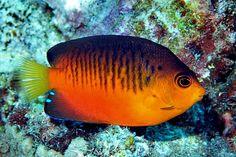 Mango Pygmy Angelfish (Centropyge shepardi)