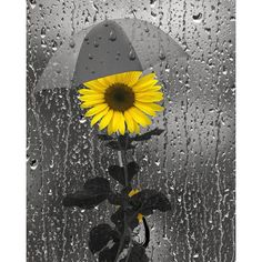 Yellow Gray Wall Art Photography/Sunflower/Rain/Bathroom Home Decor... ($19) ❤ liked on Polyvore featuring home, home decor, wall art, gray wall art, gray home decor, yellow home decor, sunflower picture and grey home decor