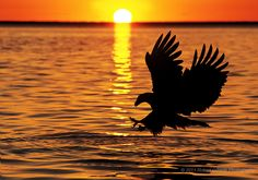 Alaska Bald Eagle Fishing at Sunset in Kenai, Alaska (by Robert O'Toole)...