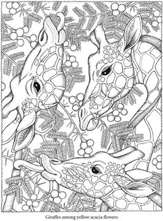 giraffes, black and white, coloring, leaves, eating, tongues