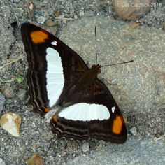 Butterfly (Adelpha thoasa) by LPJC, via Flickr