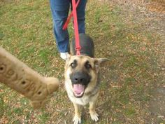 106-108 is an adoptable German Shepherd Dog Dog in Flint, MI. Adoption fees for dogs at Genesee County Animal Control are:Mix breed puppies under 4 months $65.00. Pure breed puppies under 4 months $75...