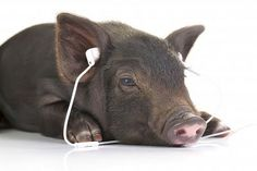 Small Black Pig Lying Down and Listening to Music. Cuteness!